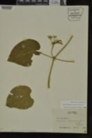 Image of Gonolobus baldwynianus
