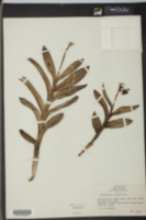 Image of Epidendrum anceps