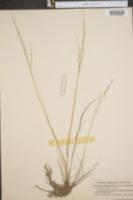Puccinellia laurentiana image