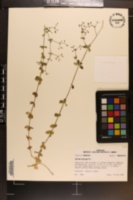 Galium pilosum image