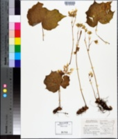 Image of Begonia plebeja