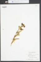 Hypericum moserianum image