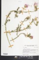Carduus acanthoides image