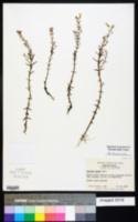 Gratiola ramosa image