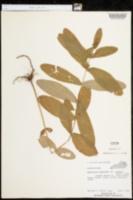 Hypericum tubulosum var. walteri image