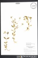 Image of Sabatia calycina