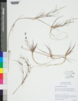 Juncus supiniformis image