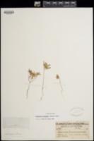 Camissonia hilgardii image
