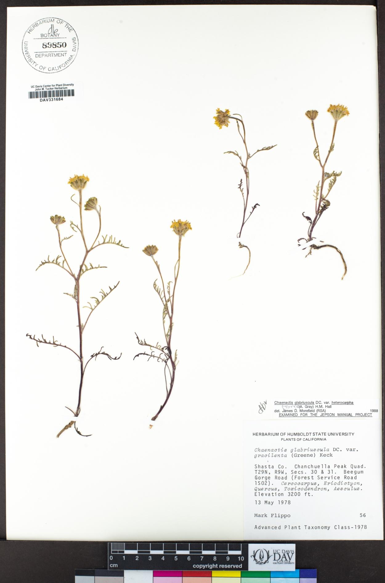 Chaenactis image