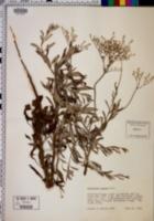 Eriogonum annuum image