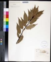 Image of Quercus glauca