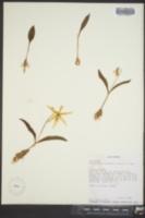 Image of Erythronium multiscapideum