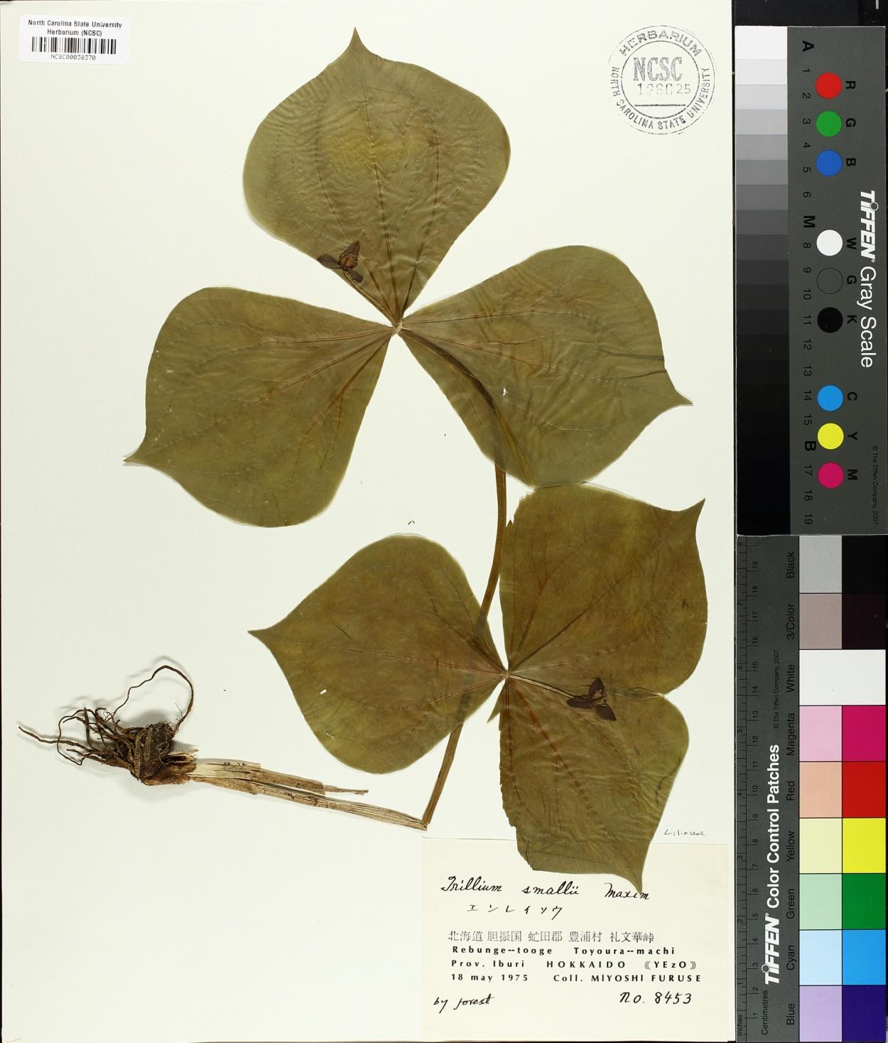 Trillium smallii image