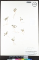 Astragalus gambelianus image
