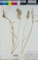 Bromus hordeaceus image