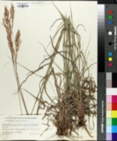 Image of Bewsia biflora