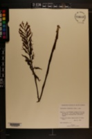 Stenorrhynchos lanceolatum image