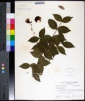 Eugenia uniflora image