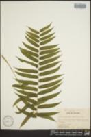 Athyrium pycnocarpon image