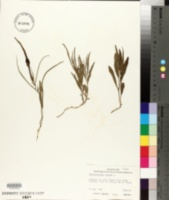 Image of Aristolochia erecta