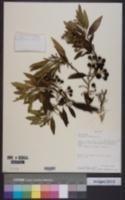 Image of Solanum nitidum