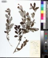 Image of Salix atrocinerea