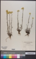 Helichrysum arenarium image