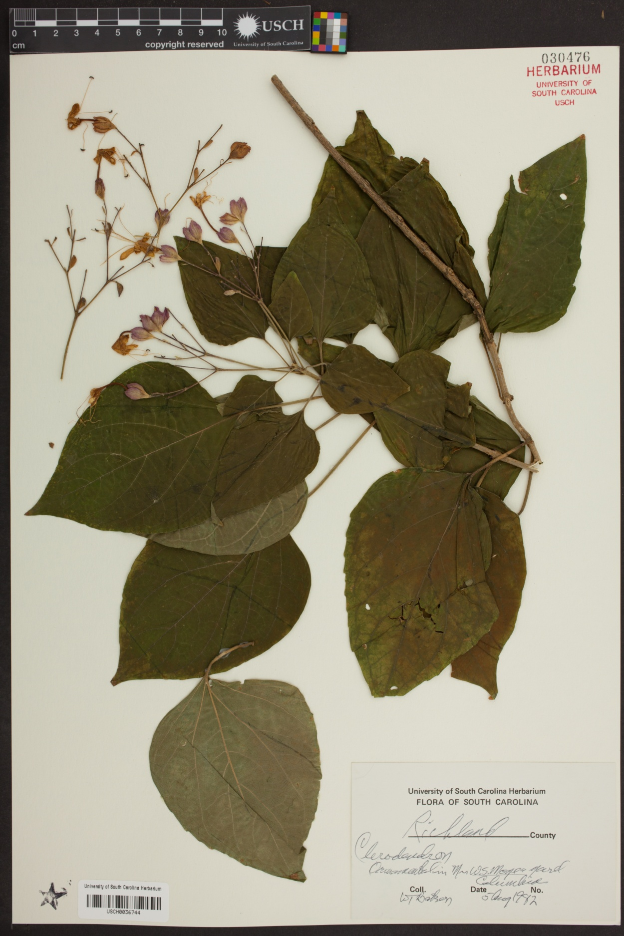 Clerodendron image