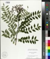 Image of Zanthoxylum schinifolium