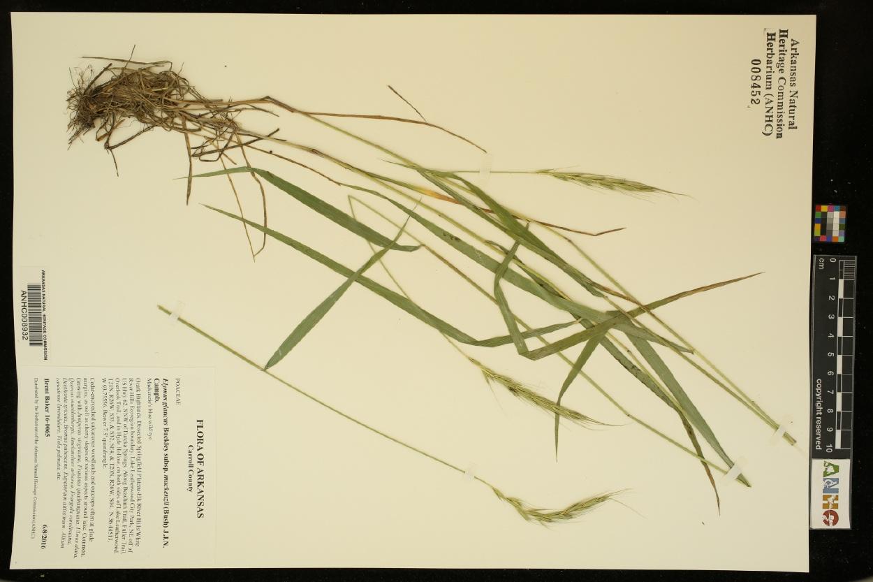 Elymus glaucus subsp. mackenzii image