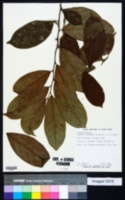 Image of Casearia coronata