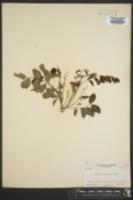 Image of Robinia boyntonii