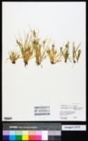 Carex garberi image
