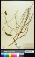 Image of Pennisetum cenchroides