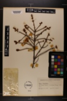 Image of Picea orientalis