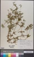 Image of Flaveria trinervia