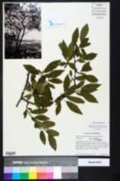 Prunus umbellata image
