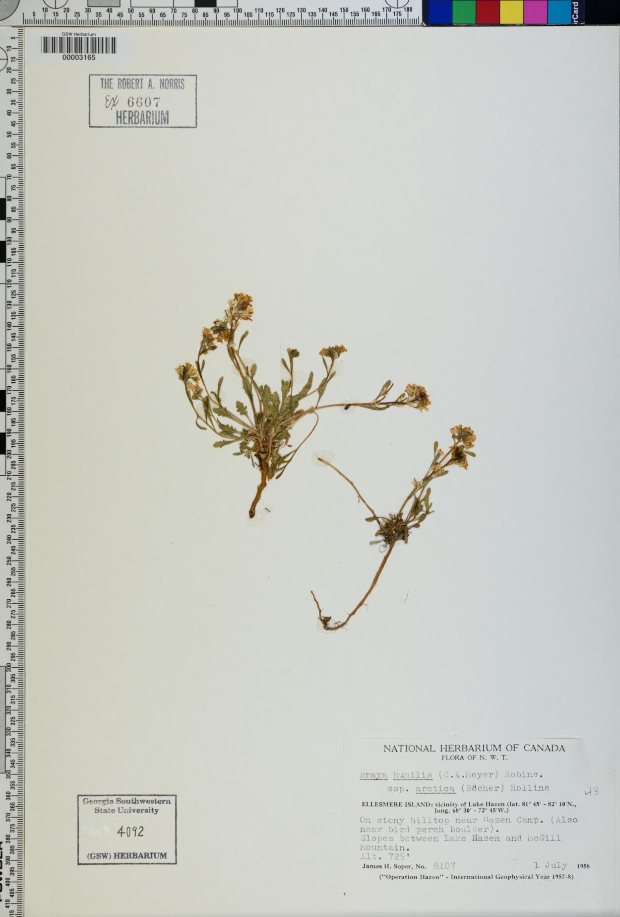 Braya humilis subsp. arctica image