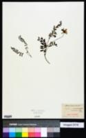 Image of Oxytropis lapponica