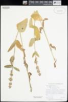 Stachys ajugoides image