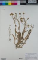 Monolopia stricta image