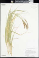 Image of Carex congdonii