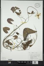 Image of Nymphaea leibergii