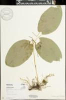 Smilax ecirrhata image
