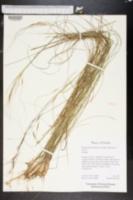 Piptochaetium avenacioides image