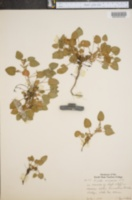 Image of Viola arenaria