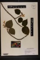 Image of Viburnum alnifolium