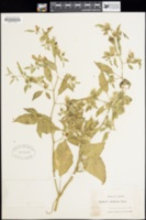 Physalis philadelphica var. immaculata image