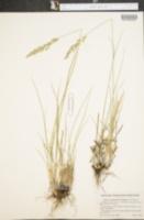 Calamagrostis lepageana image