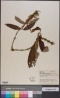 Image of Gonzalagunia panamensis